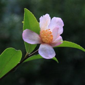 Camellia sasanqua 'Maiden Blush'