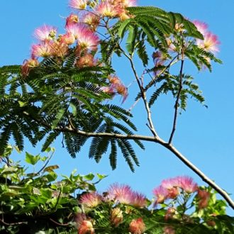 Albizia 'Tropical Dream'