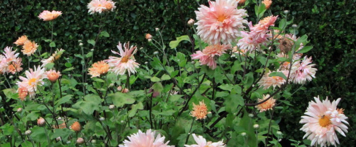 Doorbloeiende tuinchrysant – 25 september 2015