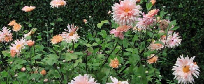 Doorbloeiende tuinchrysant – 25 september 2015